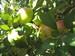 manzana esperiega 10