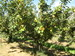 arbol manzano 2