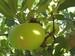 manzana esperiega 12