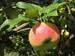 manzana esperiega 3